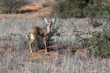 Steenbok In The Kgalagadi Royalty Free Stock Photo