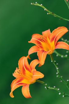 Free Lily Red Stock Photo - 15457310