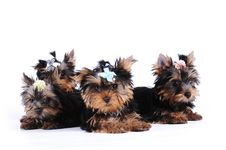Free Portrait Of Four Puppies Stock Image - 15457311