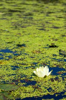 Free Water Lily Stock Images - 15457754