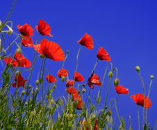 Free Red Poppies Royalty Free Stock Photos - 15459958