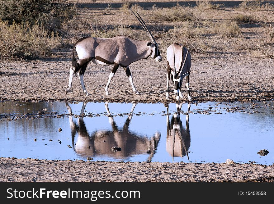 Oryx at a waterhole
