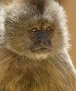 Free Capuchin Weeper Monkey Stock Photo - 15468920