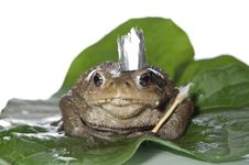 Free Queen-frog Stock Photos - 15460533