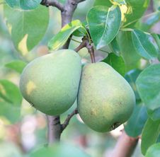 Free Pair Of Pears Stock Photo - 15460640