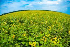 Free Sunflower Stock Photography - 15461032