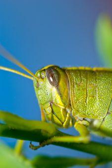 Free Grasshopper And Blue Sky Stock Image - 15461911