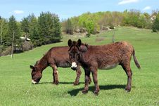 Free Two Donkeys Stock Images - 15462304