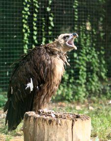 Free Aquila Chrysaetos - Eagle Royalty Free Stock Photo - 15462505