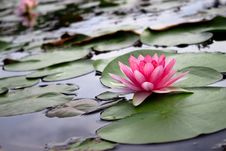 Free Beatiful Pink Lotus Stock Photo - 15463360