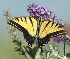 Free Palamedes Swallowtail Stock Images - 15463374