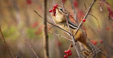 Free A Chipmunk Eating Berries Stock Images - 15464964