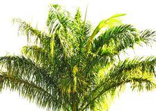 Free Palmtree Top Against White Royalty Free Stock Photos - 15465248