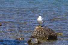 Free Seagull Resting On A Rock Stock Photos - 15466003