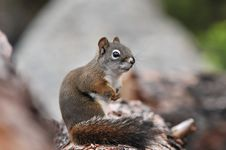 Free Western Grey Squirrel Stock Images - 15466034