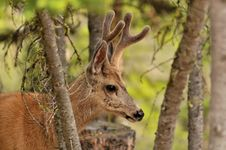 Free Mule Deer Royalty Free Stock Photography - 15466047