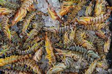 Free Prawns Shrimps Royalty Free Stock Images - 15466329