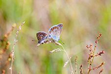 Free Polyommatus Icarus Stock Image - 15466721