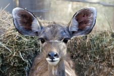 Free Young Greater Kudu Stock Images - 15466724