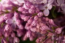 Free Branch Of Lilac Stock Image - 15466821