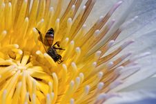 Free A Bee On A Yellow Lotus Flower. Stock Images - 15467054