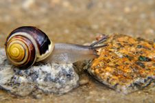 Snail On The Stone Royalty Free Stock Photography