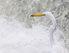 Free Great White Egret Stock Photography - 15468132