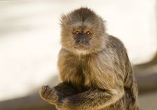 Free Capuchin Weeper Monkey Royalty Free Stock Photography - 15468697