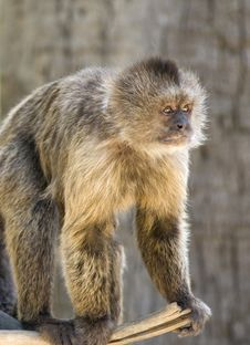 Free Capuchin Weeper Monkey Royalty Free Stock Photography - 15468787