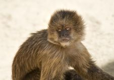 Free Capuchin Weeper Monkey Stock Images - 15468884