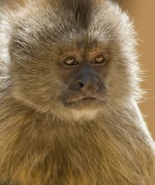 Free Capuchin Weeper Monkey Stock Photo - 15468920