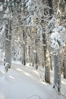 Winter Wood. Royalty Free Stock Photography