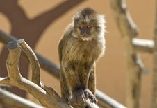 Free Capuchin Weeper Monkey Sitting Stock Image - 15469001