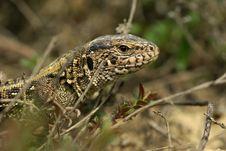 Portrait Lizard Royalty Free Stock Photo