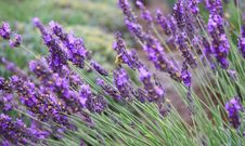 Free Lavender Royalty Free Stock Photography - 15469287