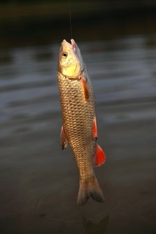 Free Goldfish Stock Photos - 15469353