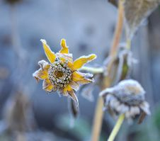 Free Hoarfrost On A Flower Royalty Free Stock Photo - 15469495