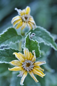 Free Hoarfrost On A Flowes Stock Photography - 15469662