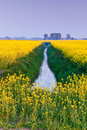 Free Field With Yellow Rapeseed Flowers Stock Photo - 15474020