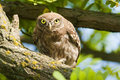 Free Little Owl In A Tree Stock Images - 15477044