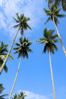 Free Coconut Tree Royalty Free Stock Image - 15471146