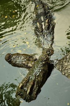 Free Crocodile Tango Stock Photography - 15471152