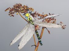 Free Big Dragonfly In Dew Drops Stock Image - 15472531