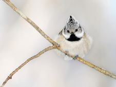 Free Small Titmouse On A Branch Royalty Free Stock Image - 15472576