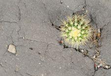 Free Cactus Flowering Stock Photo - 15472660