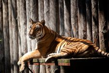 Free Resting Tiger Stock Image - 15473141