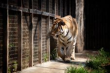 Tiger In A Cage Stock Photography