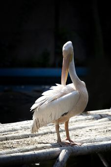 Free White Pelican Royalty Free Stock Images - 15473309