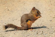 Free Douglas Squirrel On A Dirt Path Stock Images - 15473624