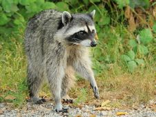 Free Raccoon On The Prowl Stock Images - 15473954